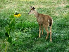 Google Image Result for http://www.squawkfox.com/wp-content/uploads/2008/10/fawn_deer_sunflower.png