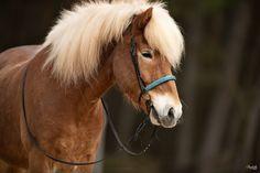 Portrait, Black Backgrounds, Coaching, Horses, Photography, Animals, Inspiration, Island Horse, Modeling
