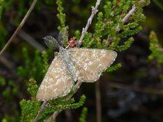 Common heath moth, Rabivere Bog.
