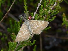 Common heath moth, Rabivere Bog.