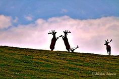 """Dancing Elk"""