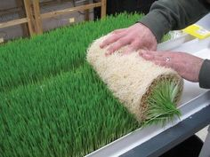 Grow your own fodder -The Cheapest Way To Feed Livestock Even During Hard Times @dreameating
