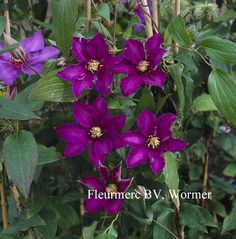 Clematis 'Richard Pennell' from Esveld