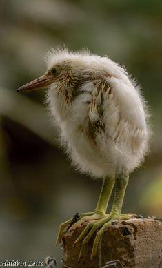 Egret Chick by Haldrin Leite