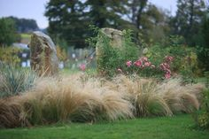 Stipa tenuissima and roses