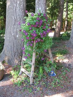 Bought this old stepladder at a resale shop for $5.00. Clematis covers it every year.
