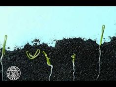 Onion seeds germinating in time lapse