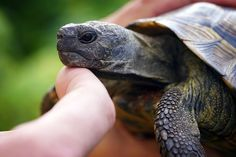A turtle was reportedly stomped and kicked to death in a disturbing viral video. No animal deserves to suffer such a torturous and cruel fate. Demand justice for this innocent reptile. Tortoise Pictures, Vegan Animals, Animal Cruelty, Death, Animal Rights, Free Image, Sign, News Articles, Turtles