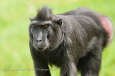 Crested Macaque | Flickr - Photo Sharing!