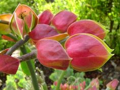 Full size picture of Slipper Plant, Candelilla (<i>Euphorbia bracteata</i>)