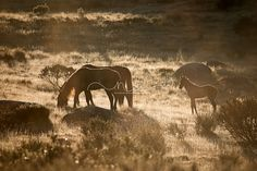 'Mornin'Sunshine'wild Australian Brumbies by Natalie Buck Photography