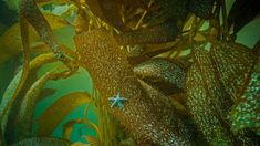 Ochre sea star on kelp off the coast of California (© Ralph Pace/Minden Pictures) Pisa, Bing Backgrounds, Keystone Species, Kelp Forest, Star Photography, Wallpaper Gallery, Daily Pictures, California Usa, Natural World
