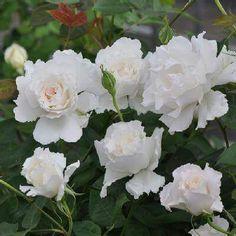 """本日の薔薇"""" ^^ ル・ブラン(FL)[Le Blanc] 日本 河本バラ園 作 2012年 咲きはじめは白に淡いピンクがかかり、咲き進むと純白になる。シフォンのウェディングドレスのようにやわらかで、ふんわりとした花形。甘くて女性らしい香りの清楚な花。コンパクトタイプで四季咲きの中輪種で育てやすいバラです。 花径:7~8cm 樹高:0.8~1.0m 花季:四季咲き その他:香⇒豊かな香り ※京阪園芸ガーデナーズの河本バラ園ブランドロ-ズはこちらから→ http://www.keihan-engei-gardeners.com/…/keih…/c/kawamoto/1/1"""