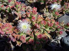 Escarcha, Escarchada, Hierba del rocío, Mesembryanthemum crystallinum