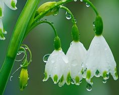 ahhh white snowdrops with sweet as droplets of water...stunning nature photography too - inspiring!