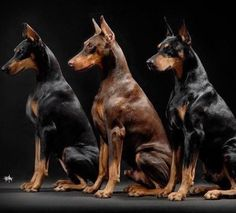 The Doberman Pinscher is among the most popular breed of dogs in the world. Known for its intelligence and loyalty, the Pinscher is both a police- favorite Doberman Pinscher Blue, Doberman Love, Doberman Puppies, Animals Beautiful, Cute Animals, Merle, Dog Rules, Mundo Animal, Working Dogs