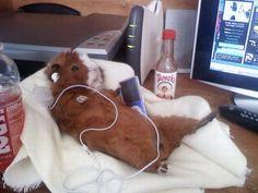 Le cochon d'inde a la belle vie