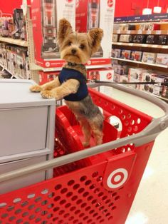 Duke of Yorkie , Puppy Yorkshire Terrier , Furbaby , Toy Breed , Target's furry customer Looks just like my little Sammy! Yorkies, Yorkie Puppy, Chihuahua, Cute Puppies, Cute Dogs, Dogs And Puppies, Corgi Puppies, Perros Yorkshire Terrier, Yorky Terrier