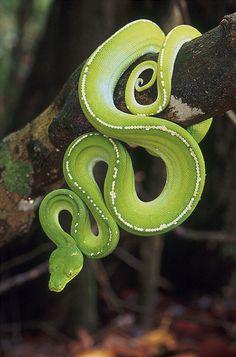 ˚Green Python, Morelia viridis - Australia