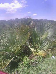 Palmas mixteca oaxaca mexico 2015