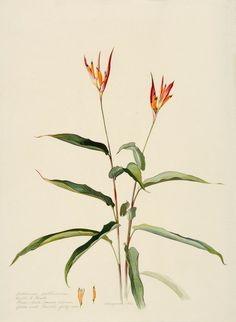 Margaret Mee, 1964 Heliconia psittacorum