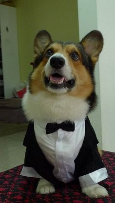 corgis are really full-sized German Shepherd Dogs stuffed into small, short-legged bodies.   you can tell because they are so dense!   (prom-king also-ran corgi.)