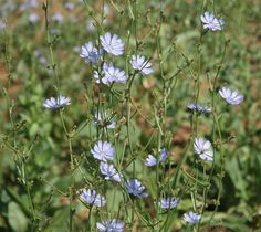 Chicory - With enough moisture, chicory food plots can persist for several years and will continue to draw deer to this tasty herb. Description from qdma.com. I searched for this on bing.com/images