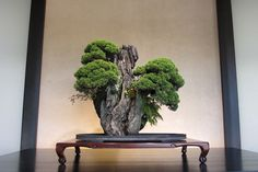 Juniper Bonsai on rock, Omiya