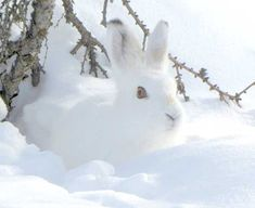 41 Arctic Animals With Amazing Surviving Skills (Facts + Pictures) - Frohmut - 41 Arctic Animals With Amazing Surviving Skills (Facts + Pictures) Arctic hare camouflaging itself completely in the white snow - Baby Animals Pictures, Animals For Kids, Funny Animals, Cute Animals, Arctic Hare, Arctic Animals, Wild Animals, Baby Animals Super Cute, Pretty Animals