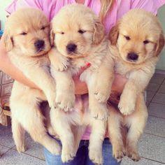 arm full of golden puppies
