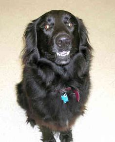 Google Image Result for http://www.dogfamily.org/images/flat-coated-retriever-17.jpg
