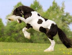 Gypsy Vanner Stallion ♥