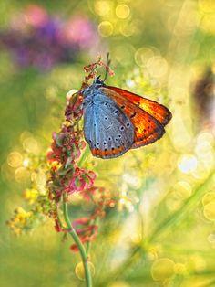 sunset butterfly ~