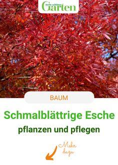 Mit ihrem gefiederten Laub und auffälliger Herbstfärbung ist die Schmalblättrige Esche ein besonders attraktiver Laubbaum. So gelingen Pflanzung und Pflege von Fraxinus angustifolia. #baum #esche #meinschoenergarten House Trees, Nursing Care