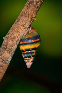 Liguus fasciatus One of the 60 color forms of the beautfiul Liguus Tree Snails. Photo © copyright by Paul Marcellini