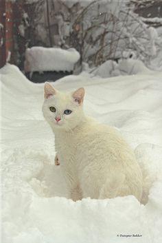 White Cat in the Snow, Blue and Green Eyes, Heterochromia Iridum,