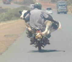 Riding A Bike While Holding A Cow ---- funny pictures hilarious jokes meme humor walmart fails
