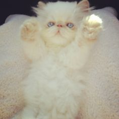 My beautiful Himalayan kitten Cutest Kittens Ever, Baby Kittens, Cute Cats And Kittens, I Love Cats, Crazy Cats, Animals And Pets, Cute Animals, Himalayan Kitten, Kitty Tattoos