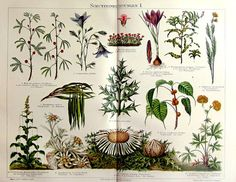 1896 Vintage plants with defensive mechanisms by LyraNebulaPrints, $29.95