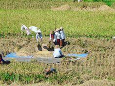 Locals working in the paddy fields in Bali. #whodoido #travelpic #traveladdict #travelblogger #blogger #travelbug #couple #coupletravel #travelgram #wanderlust #paddyfield #potd #instapic #follow #throwback #tbt #traveler #traveling #explore #exploringtheglobe #bucketlist #picoftheday #igtravel #bali
