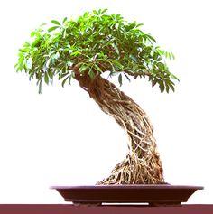 ROOTS styling basics - great stye to this exposed root Schefflera bonsai !