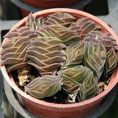 Tradescantia navicularis --This world is really awesome. The woman who make our… Weird Plants, Rare Plants, Exotic Plants, Cool Plants, Succulent Gardening, Cacti And Succulents, Planting Succulents, Coleus, Cactus Plante