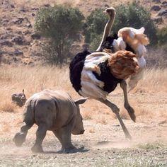 Funny Wildlife • #Funnywildlufe #picoftheday Baby #rhino chasing...