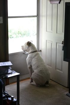 Home security! American Bulldogs ROCK!!!