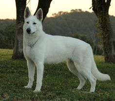 White Swiss Shepherd Dog - more timid personality