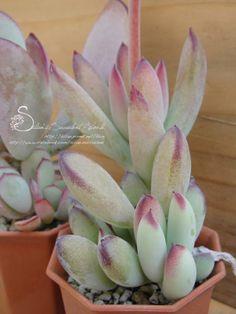 """2/"""" Cotyledon Fairy Tale Plant Cactus Succulent Plants Flowers Rare Cute sinus"""