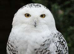 Harry Potter's 'Hedwig'