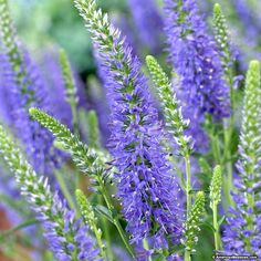 Veronica Moody Blues produces fabulous, deep blue flower spikes that add both texture and color to the early summer garden. Moody Blues Veronica is great for borders, containers and is deer resistant.