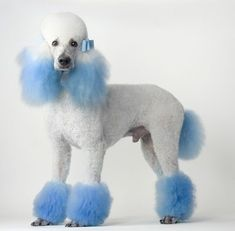 LOVE LOVE LOVE! This is such a classy looking dye & groom. I would get this if I had a #poodle!