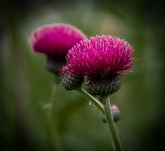 Scottish thistle by Good Nature One, via Flickr
